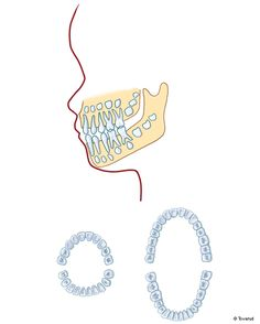 Tandanlag. Bett med mjölktänder respektive permanenta tänder
