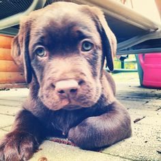 Words cannot describe how badly I want a chocolate lab.