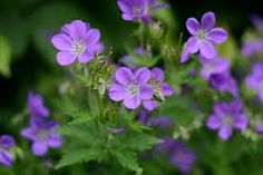 geranium sylvaticum mayflower - 'Wood cranesbill'  Tough bushy upright perennial with violet-blue flowers unsurprisingly in late spring & early summer. Cut back after flowering for a second flush in July-August. 90cm
