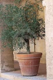 Trees in containers on pinterest potted trees topiaries for Pruning olive trees in pots