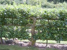 espalier apple tree fence...the deer would love this!