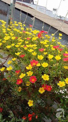 Portulaca Grandiflora, Eco Garden, Outside Plants, Cosmos Flowers, Bottle Garden, Flower Beds, Houseplants, Indoor Plants, Outdoor Gardens