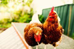 Hens are social animals. #hensdeservebetter