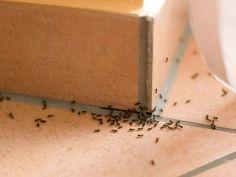 Le borax agit comme un insecticide.