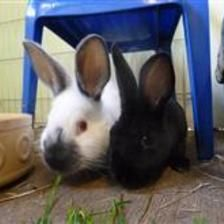 Jane is looking for a home with her Sister Mabel. They are young rabbits so they are looking for a home that can offer them a large hutch or shed attached to a 10ft by 5ft run. They are very active and very nosy rabbits. If you think you can offer these boys a home please contact the Godmanchester Shelter.