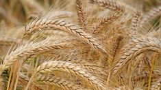 After reading this article and watching this video, you'll know how to cook unhulled barley. What is Barley? Barley is a cereal grain. Unhulled Barley still has the hull intact. Nutrition Blogs, Holistic Nutrition, Mexican Restaurants Near Me, Keto Flour, Le Croissant, Us Department Of Agriculture, Flour Mill, Glycemic Index, Fiber Rich Foods