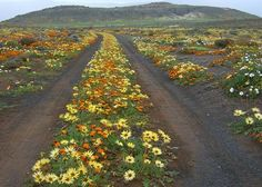 Namaqualand, up the west coast of South Africa South African Flowers, South Afrika, Africa Travel, Mellow Yellow, Pretoria, Wild Flowers, Desert Flowers, West Coast, Places To See