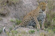 Leopard Prowling by Cyril Furman  LPSSA Racing, My Style, Photography, Animals, Shopping, Running, Photograph, Animales, Animaux