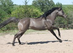 Berry Sweet Whizardalso  2003 grullo stallion........Beautiful! what a colour.