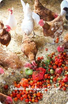Chickens by sweet.dreams                          `  Chicken Dinner!  ;)