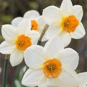 Narcissus 'Verger' (Daffodil 'Verger') Click image to learn more, add to your lists and get care advice reminders each month.