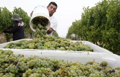 Warm days bring about early grape #harvest2013 Abel Medina pours freshly picked #sauvignonblanc grapes into a bin to be cleaned and pressed Monday at Buttonwood Farm Winery & Vineyard in Solvang as vineyards around the Central Coast begin harvest. Winemaker Karen Steinwachs said the white grape harvest will last through the end of the month, with red wine grapes being harvested into late October.