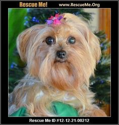 13 Best Yorkie Rescue Images Yorkie Yorkies Yorkshire