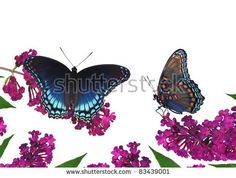 Two Red- spotted Purple butterflies (Limenitis arthemis) at a purple butterfly bush - for your cards, background, and other artistic needs.