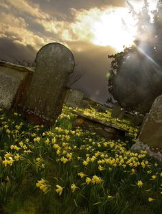 Wild daffodils on graves, St Teilo's Church at Llandeilo Graban, Wales, UK. Photo by Terry Evans