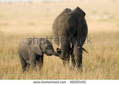 Loving Elephant mother and calf - stock photo