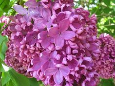 There is nothing like the smell of fresh lilacs.....