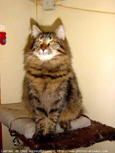 Photo chat de race Norvégien, Laerdal de chez monney - Eleveurs-Online.com