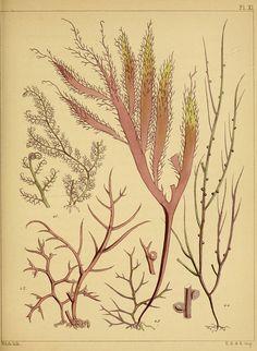 British Seaweed  n270_w1150 by BioDivLibrary, via Flickr