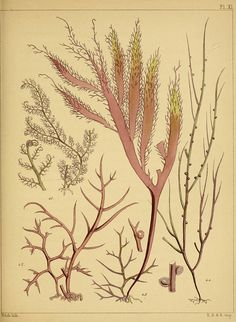 British Seaweed  n270_w1150 by BioDivLibrary, via Flickr