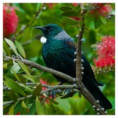 Tui in Bottlebrush tree (Callistemon) The flowers are one of their favourites for nectar. All Birds, Love Birds, Beautiful Birds, Animals Beautiful, Tui Bird, New Zealand Art, Nz Art, Maori Art, Kiwiana