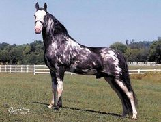 Pusher's Coat of Color, Tennessee Walking Horse, Just beautiful , I have two fillies out of Pusher.love the bald face and stockings. he  marks his babies so pretty.