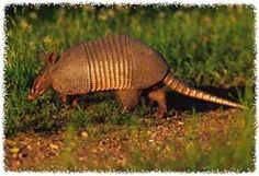 How to Trap an Armadillo Trapping Tips and Bait Advice ...