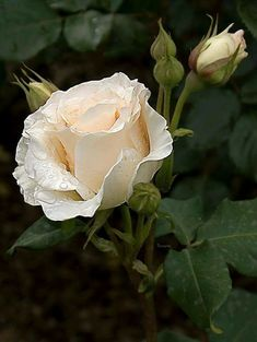 Beautiful rose Beautiful Rose Flowers, Beautiful Gardens, White Roses, Pink Roses, Trees To Plant, Plant Leaves, Rose Care, Rosa Rose, Rose Pictures