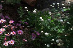 Inspirasjon – Min Oase Planting, Gardening, Ranunculus, Plants, Lawn And Garden, Persian Buttercup, Horticulture