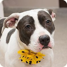 URGENT! I am at a kill shelter in Troy, OH - Pit Bull Terrier. Meet Blossom, a dog for adoption. http://www.adoptapet.com/pet/12511666-troy-ohio-pit-bull-terrier