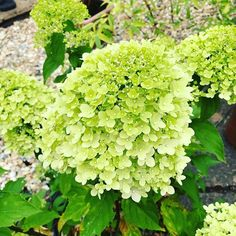 Oh so pretty limelight hydrangea paniculata are in danger of ending up in my vase  #gardenflowers  #trynottopickthem #freshflowers #floralelements