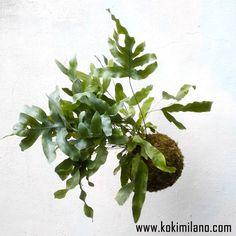 "Kokedama di Felce ""Blue Star"", string of pearls plant, flying garden, string garden, wall flowers, Jungle Style, moss ball. di KokiMilano su Etsy"