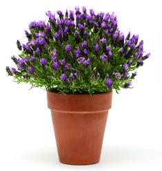 You Will Love 'Bandera Purple' Spanish Lavender on http://www.hortmag.com