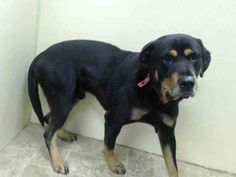 TO BE DESTROYED - 12/05/14 Brooklyn Center -P My name is MAX. My Animal ID # is A1021847. I am a male black and tan rottweiler. The shelter thinks I am about 2 YEARS old. I came in the shelter as a STRAY on 11/28/2014 from NY 11208, owner surrender reason stated was STRAY.