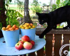 Äpfel, Aprikosen und Katze www.sonjarieser.cg Fruit, Home And Garden, Cats