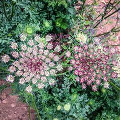 Dara Queen Anne's Lace Flower #vegetablegardendesign #GardenPlans #vegetablegardening