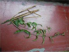ALTERNATIVA ECOLÓGICA: CULTIVO DE CEDRÓN Plants, Planters, Plant, Planting
