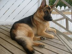 Beauty, intelligence, loyalty, bravery,....unconditional love,..my favorite breed for sure