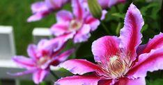 Am căutat o plantă căţărătoare curajoasă, cu flori splendide, care să înflorească abundent mai mulţi ani. Am găsit C lematis, în traduce... Stele, Mai, Plant