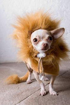 Check out the best Chihuahua Halloween costumes to inspire from! Chihuahua Love, Teacup Chihuahua, Chihuahua Puppies, Chihuahua Clothes, Chihuahua Halloween Costumes, Dog Halloween, Pet Costumes For Cats, Animal Costumes, Group Halloween