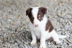 Beren's Tale: Puppy!! Rachel Wilhelm Photography ALL RIGHTS RESERVED! #Beren #BerensTale #RachelWilhelmPhotography #ilovedogs #ilovepuppies #puppy #ilovebordercollies #bordercollie #bordercollielovers #animals #babyanimals #cuteanimals #FortWaynePhotographer #petphotographer #adorablepuppy #puppylove