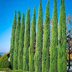Best Privacy Trees For Small Backyard Reasonably Priced Cypress Trees For Backyard Privacy Privacy Landscaping, Backyard Privacy, Garden Landscaping, Italian Cypress Trees, Privacy Trees, Privacy Hedge, Best Trees For Privacy, Landscape Design, Garden Design