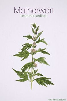 Motherwort Leonurus cardiaca. Mild graves , heart, menstruation ,, lower blood pressure...,    Also known as lions tale ...