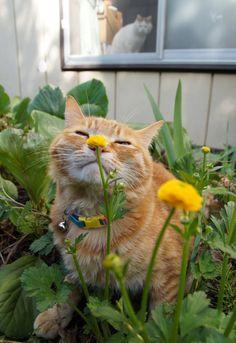 八重金鳳花 - かご猫 Blog