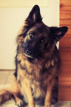 long haired german shepherd. THOSE EARS! These guys are gorgeous. {abbeygoldfinch}                                                                                                                                                                                 More