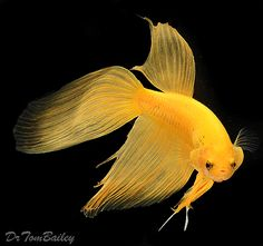 I'm really liking yellow bettas (don't know if that's the correct name for the color).