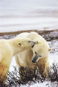 Assiniboine Park Zoo // Research Bear Pictures, Polar Bear, Bears, Bear
