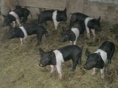 Hampshire Piglets! My favorite breed, when I was showing livestock!