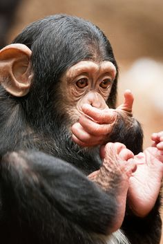 Baby chimp. Hes my favorite.  I think im in love
