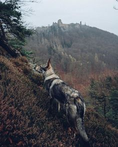 Fotografia Wolf Spirit, Spirit Animal, Beautiful Dogs, Animals Beautiful, Wild Animal Wallpaper, Animals And Pets, Cute Animals, Czechoslovakian Wolfdog, Saarloos